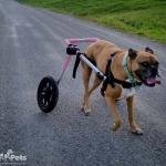 Amy Saved by Medium Wheelchair