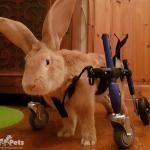 Aslan the Bunny inSmall Full Support/Quad Walkin' Wheels Wheelchair