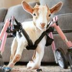 Baby Bean the Goat in Small Full Support/Quad Walkin' Wheels Wheelchair