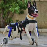 Benny in Medium Dog Wheelchair