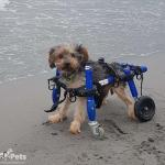 Bichosraros on Beach inSmall Full Support/Quad Walkin' Wheels
