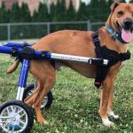 Boby the Wonder Dog in Medium Walkin' Wheels Wheelchair