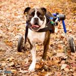 Boomer in Medium Wheelchair