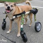 Bugsy in Small Full Support/Quad Walkin' Wheels Wheelchair