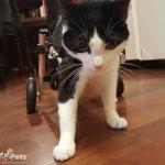 Cat Small Wheelchair