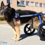 Diesel in Wheelchair