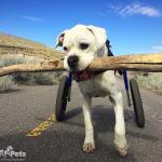 Duke's New Large Walkin' Wheels Wheelchair