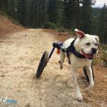 Duke Running in Large Wheelchair