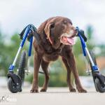 Godiva in Full Support Quad Wheelchair