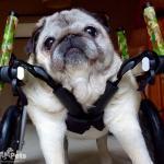 Greta in Small Full Support/Quad Walkin' Wheels Wheelchair
