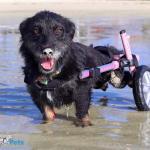 Jetta in Small Walkin' Wheels Wheelchair