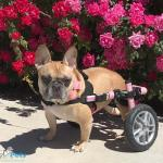 Kardi in Small Wheelchair