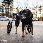 Koda in Wheelchair Large