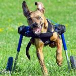 Leo in Dog Wheelchair