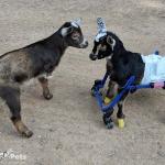 Mia Timmy Goats in Mini Front Wheel AttachmentWalkin' Wheels