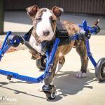 Peg in Mini Dog Walkin' Wheels Wheelchair