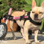 Pixie from Roaddogs in Small Wheelchair