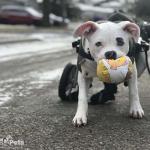 Queen in Walkin' Wheels Medium Dog Wheelchair