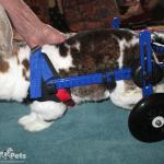 Rabbit in Mini Walkin' Wheels Wheelchair