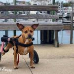Rollin' with Macy in Walkin' Wheels Wheelchair