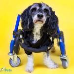 Whiskey Slurpee in Small Full Support/Quad Walkin' Wheels Wheelchair