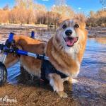 Baxter in Walkin Wheels Wheelchair