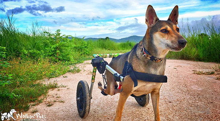 wheelchair dog from the man that rescues dogs