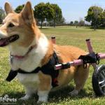 Lily in Walkin Wheels Wheelchair