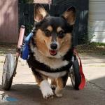 Sachi in Walkin Wheels Wheelchair