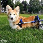Shippo in Walkin Wheels Wheelchair