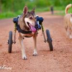 Coke in Med/Large Dog Wheelchair