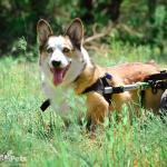 Corgi in Walkin' Wheels by Keri Crenshaw