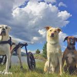 Duke the Boxer in Med/Large Dog Wheelchair