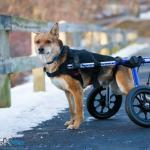 Omid in Med/Large Walkin' Wheels Wheelchair