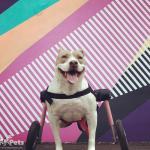 Puppy-Grey in Walkin' Wheels Med/Large