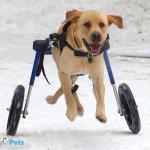 Thor Running in Wheelchair
