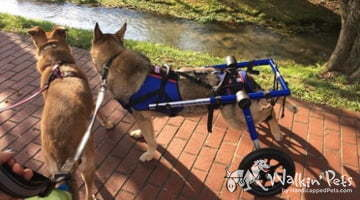 Kaiser the German Shepard in a Walkin Wheels Wheelchair