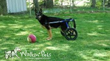 Mace the German Shepard in Walkin' Wheels