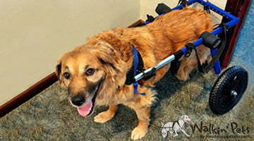Marcus the Golden Retriever in a Walkin Wheels Wheelchair