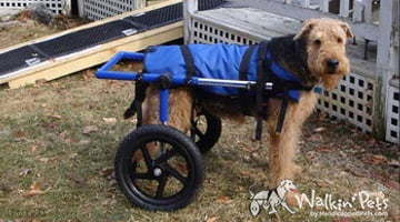 Oliver the Airedale in a Walkin' Wheels Wheelchair