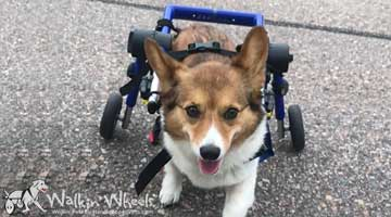 Scout the Corgi in her Walkin' Wheels