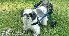 Bandit in Mini Walkin' Wheels Wheelchair
