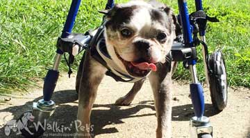 Ernie the Boston Terrier in his Walkin' Wheels