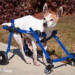 Vinnie in Walkin' Wheels MINI Front Wheel Attachment
