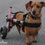 Ailey Bear in Dachshund Walkin' Wheels