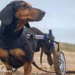 Brokenbiscuits in Dachshund Wheelchairs