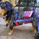 Buddy in Dachshund Dog Wheelchair
