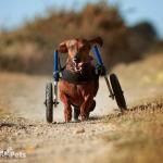 Walkin' Wheels DACHSHUND Wheelchair