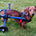 Lily in Walkin' Wheels Wheelchair