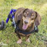 Salvino in Dachshund Walkin' Wheels Wheelchair